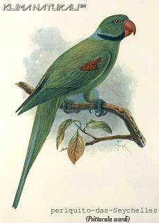 Periquito-das-Seychelles (Psittacula wardi)