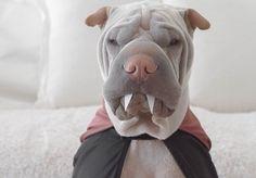 #Paddington, le Shar Pei roi du déguisement nous fait complètement fondre !  #Bebuzz #Cute #Dog
