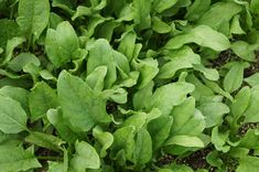 A step by step guide for growing spinach hydroponically, germination of spinach seeds hydroponically, advantages of hydroponic spinach Autumn Garden, Spring Garden, Natural Sources Of Iron, Knorr Spinach Dip, Foods To Reduce Cholesterol, Vertical Garden Plants, Growing Spinach, Easy Vegetables To Grow, Growing Vegetables