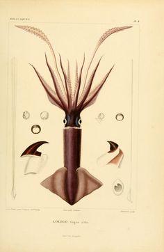 Voyage dans l'Amérique Méridionale, Alcide d'Orbigny, 1835.