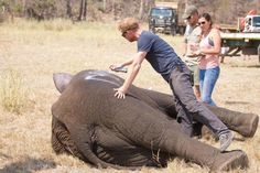 Prince Harry has been pictured working in the African bush helping wildlife conservationists move hundreds of elephants huge distances to new homes. Prince Harry has been pictured working in the Af…