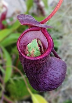 Pacific Treefrog in Nepenthes Pitcher by amkhosla,