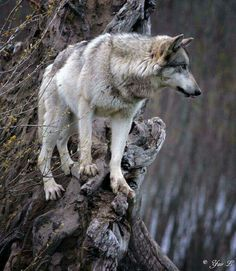 Wolf on a precarious Edge