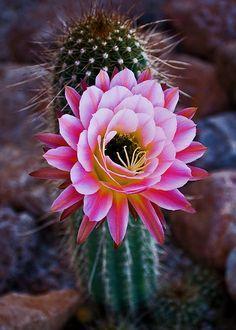 La belleza oculta de este cactus merece dedicarle un poquito de tu tiempo, mira:
