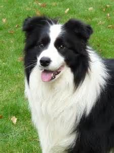 border collie - My Yahoo Image Search Results