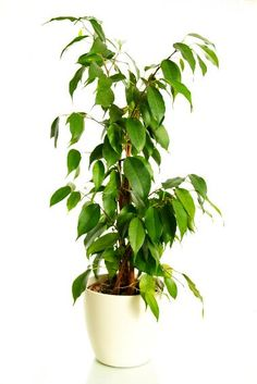 The  Weeping Fig is actually a tree that survives really well indoors. It's tall, majestic and can really add some drama to your interior. It is also a great natural air purifyer, removing ammonia, formaldehyde and xylene from your indoor environment.