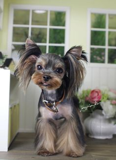 Korean Dog Grooming Style — Yorkshire Terriër <3 how adorable this little one is!!
