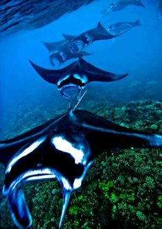 Reef Mantas in Mating Formation in Maui