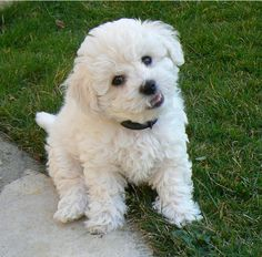 Cute Bichon Frise Puppy I miss my Maggie Cute Baby Dogs, Cute Cats And Dogs, Baby Puppies, Cute Baby Animals, Cute Puppies, Dogs And Puppies, Bichon Dog, Teacup Chihuahua, Maltese Dogs