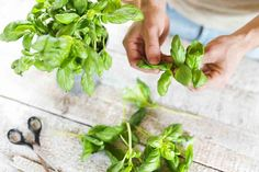 Herbs An A–Z List of Herbs for a Healthier You Green Detox Smoothie, Superfood Powder, Fresh Basil Leaves, Good Smoothies, Smoothie Ingredients, Pasta, Recipes From Heaven, Eating Raw, Growing Herbs