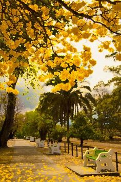 Yellow Poui Tree in Trinidad | Yellow Poui Trees Print by Francis Chu Foon. One day I hope to have a poui tree in my front lawn. But if not, at least I see them as I pass along the way. RA.