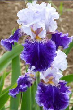 I have several of these but I need to move the entire bed not getting enough sun Iris Flowers, Pretty Flowers, Purple Flowers, Planting Flowers, Iris Garden, Lawn And Garden, Most Beautiful Flowers, Exotic Flowers, Flower Catalogs