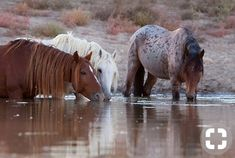 Horses taking a sip..
