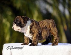 The major breeds of bulldogs are English bulldog, American bulldog, and French bulldog. The bulldog has a broad shoulder which matches with the head. Brindle English Bulldog, Mini English Bulldogs, English Bulldog Breeders, French Bulldog, Cute Puppies, Cute Dogs, Dogs And Puppies, Doggies, Funny Dog Jokes