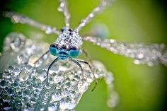 Dew covered dragonfly.
