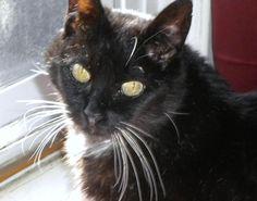 Amelie Domestic Short Hair-black • Senior • Female • Medium Seattle Animal Shelter Seattle, WA