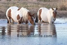 Things to do in Utah | Wild Horse Sightseeing & Photography Tours by Rob's Wildlife located just outside of Salt Lake City, Utah. Great for photographers, tourists, couples, families. Would be an awesome adventure date.