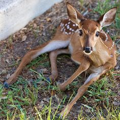 Wihite-Tailed Deer Fawn                                    15 Cutest Baby Animals on the Planet - Grandparents.com