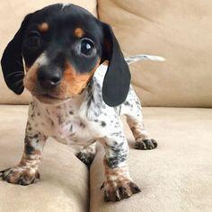 Piebald Dachshund Puppy via Instagram.com/harlowandsage