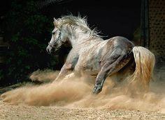 shagya arabian | shagya arab by JetStream787 on Flickr