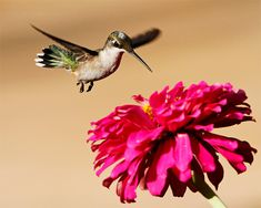 how to photograph hummingbirds...this will be helpful when i'm back home!