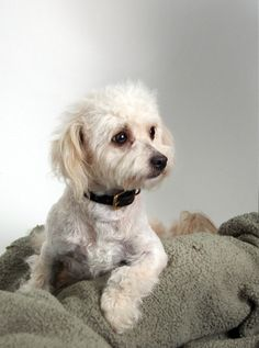 *RESCUED* Peluche Female 1 year Cream Poodle Min Mix 10 LBS A032742 Available for adoption on 2/15/2014