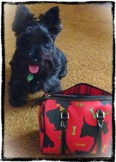 OUR PUPPY PICTURES — SCOTTISH TERRIERS, Scottish Terriers, Idahoscotties.com