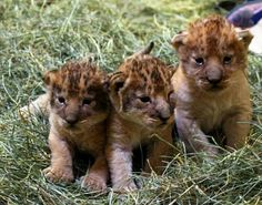 The lion cubs born on February 24 2015 Hogle Zoo Utah