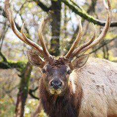 fuji_safari 左右対称の角を持つワピチ。 Male wapiti have symmetrical antlers. #富士サファリパーク #ワピチ #左右対称 #シンメトリー #角 #動物 #fujisafaripark #wapiti #symmetrical #symmetry #antlers #animal #wildlife 富士サファリパーク 2017/11/29 23:08:39