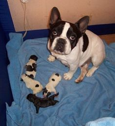 Joleen with her 2 day old pups <3 -- Ours is the one with the most spots (which are brindle)