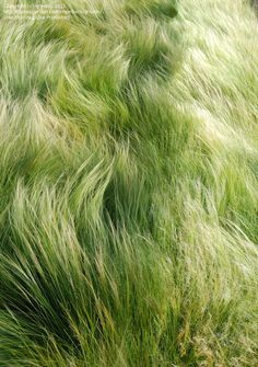 PlantFiles: Picture #30 of Silky Thread Grass, Mexican Feather Grass, Mexican Needle Grass, Pony Tails (Stipa tenuissima)