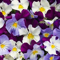 Anytime™ Sugarplum - Pansiola - Viola x wittrockiana-A heat tolerant Pansy that will bloom throughout summer even in warm climates. Vigorous and semi-trailing, they are great landscape and garden plants. This will be winter hardy in zones 5 and warmer