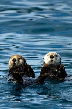 "nature-planet:  "" Sea Otter Pair by Adam Pender  """