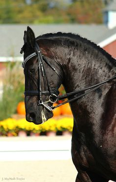 Fall Friesian by gypsymarestudios, via Flickr