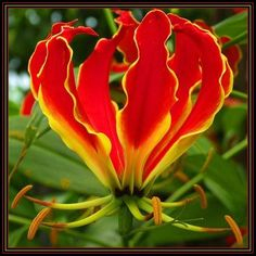 Gloriosa Superba - Flame Lily - Indigenous South African Bulb Seeds - 15 Seed Pack in the Perennials category was sold for on 6 Apr at by Seeds for Africa in Cape Town Rare Flowers, Bulb Flowers, Exotic Flowers, Beautiful Flowers, Special Flowers, Planting Bulbs, Planting Flowers, Potted Flowers, Flower Seeds