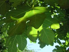 Why A Fig Tree Is Not Producing Fruit - Fig trees are an excellent fruit tree to grow in your garden. But when your fig tree does not produce figs, it can be frustrating. There are many reasons for a fig tree not fruiting. Learn what they are here. Fruit Garden, Edible Garden, Garden Pots, Garden Ideas, Edible Plants, Vegetable Garden, Fig Leaves, Plant Leaves, Fig Fruit Tree