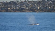 First Gray Whale of Season Spotted Off Mission Bay
