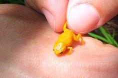 Sapos venenosos descobertos na Floresta Amazônica medem apenas 1cm