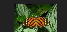 Heliconiinae_-_Heliconius_ismenius_telchinia.jpg (JPEG Image, 1024×768 pixels)