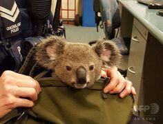 【画像あり】 職質したらコアラを隠し持っていた : ゴールデンタイムズ