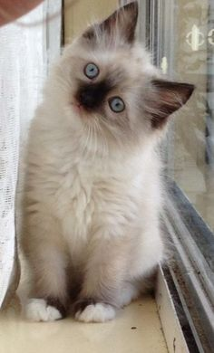 Ragdoll kitten - my favorite.
