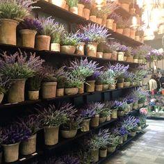Lavender Cottage, Lavender Garden, French Lavender, Lavender Scent, Lavender Fields, Lavender Color, Potted Lavender, Lavender Flowers, Purple Flowers