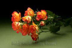 Baby Rio® MAMBO NO. 5 Spray Rose