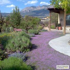 Pink Chintz Creeping Thyme | Thymus Pink Chintz | High Country Gardens