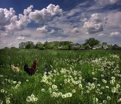 chickens and dandelions