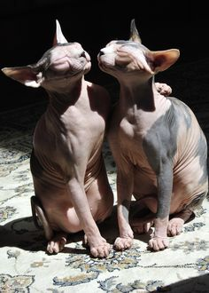 Sister Sphinx Cats Kitten Kiss Francine and Pixie - Tap the link now to see all of our cool cat collections! Lucky Puppy, Hairless Cats, Sphinx Cat, Maine Coon Cats, Cute Creatures, Puppys, Cat Breeds, Cool Cats, Aliens