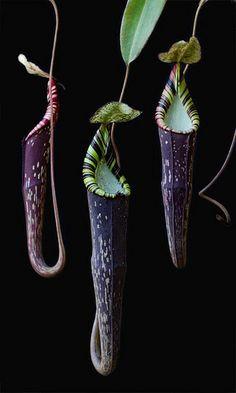 Nepenthes spectabilis, North Sumatra | by Richard Ellis
