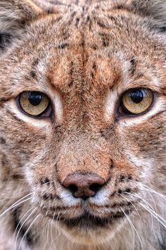 "Lynx ""look into my eyes"""