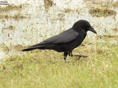 Corneille noire - Carrion crow - Corvus corone by Thomas Humbert