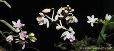 Orchids flowering inside my Orchidarium today! White Orchids, White Flowers, Beautiful Flowers, Flowering Plants, Planting Flowers, Miniature Orchids, Terrarium Plants, Pastel Shades, Different Flowers